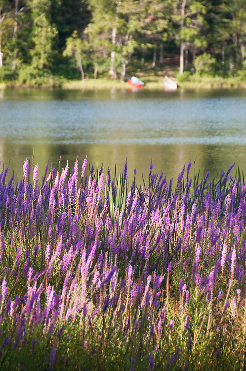 Purple loosestrife an invasive species grows along the Michigamme River near Republic Michigan.