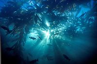 Sunlight sines through a Kelp Forest in Monterey Bay, CA