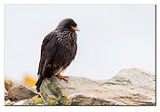 Striated caracara from Saunders Island, West Falkland Island. Nikon D500, 200-400mm @ 340mm (510 mm in full frame), f4.5, EV +1.67, 1/1600sec, ISO500, Aperture priority