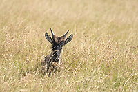 A young Wildebeest, Connochaetes taurinus, that has become separated from its herd in Maasai Mara National Reserve, Kenya