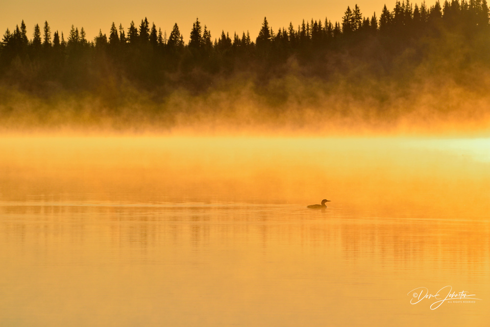 A common loon on Pine Lake at sunrise, Wood Buffalo National Park, Alberta, Canada