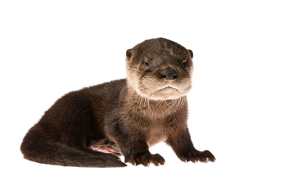 Studio portrait of a baby River Otter (Lontra canadensis) against a white background.