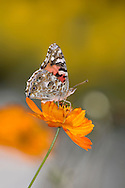 Butterfly On An Orange Flower, American Painted Lady, Vanessa virginiensis
