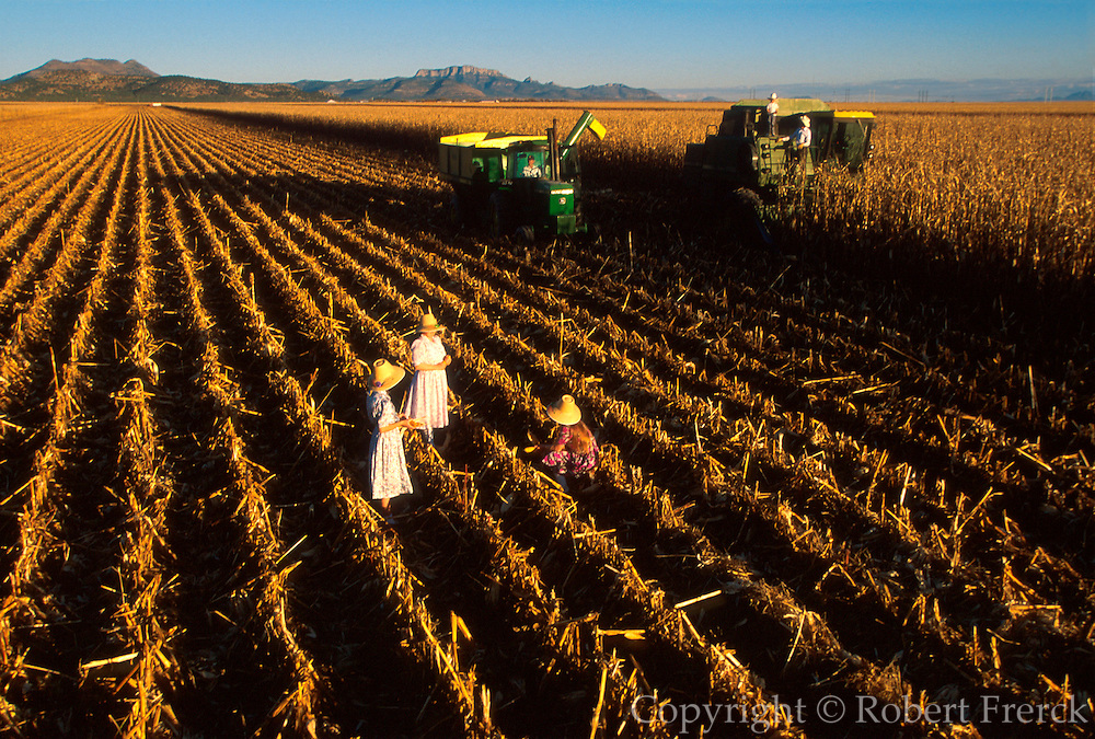 MEXICO, AGRICULTURE, CHIHUAHUA Mennonite family harvesting corn, progressive farming and religious community near Cuauhtemoc
