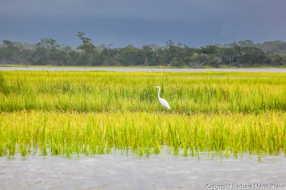 A great Egret stands in the marsh grass