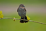 Female red-wing blackbird (Agelaius phoeniceus) on tree branch  during spring migration <br />