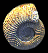 Galbanites okusensis (Salfield, 1913) macroconch Swindon, Wiltshire.