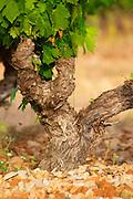 Chateau de Lascaux, Vacquieres village. Pic St Loup. Languedoc. Cinsault vine variety. Tourtourelle area. France. Europe. Vineyard.