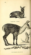 Tibetian Musk Deer from General zoology, or, Systematic natural history Vol II Part 2 Mammalia, by Shaw, George, 1751-1813; Stephens, James Francis, 1792-1853; Heath, Charles, 1785-1848, engraver; Griffith, Mrs., engraver; Chappelow. Copperplate Printed in London in 1801 by G. Kearsley