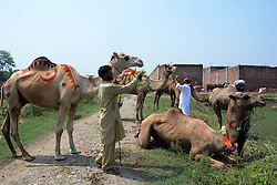 LAHORE, Sept. 3, 2016 (Xinhua) -- Pakistani camel owners wait for customers at a livestock market established for the upcoming Eid al-Adha festival in eastern Pakistan's Lahore, Sept. 3, 2016. (Xinhua/Sajjad).****Authorized by ytfs* (Credit Image: © Sajjad/Xinhua via ZUMA Wire)