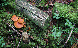 THEMENBILD - aktuell ist Hochsaison für Schwammerljäger. Durch die feuchten und regnerischen letzten Wochen lassen sich aktuell besonders viele Pilze in den heimischen Wäldern finden. Aber auch auf die richtige Auswahl der Pilze ist zu achten, um Vergiftungen zu vermeiden // high season for mushroom hunters. Through the damp and rainy last weeks, especially many mushrooms can be found in the local forests, Austria on 2017/07/28. EXPA Pictures © 2017, PhotoCredit: EXPA/ Jakob Gruber