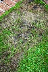 Using moss killer on a lawn. Showing blackened moss that has been killed by moss killer