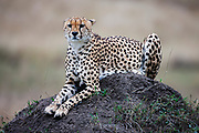 A cheetah ( Acinonyx jubatus ) laying on a termite mound, Masai Mara, Kenya