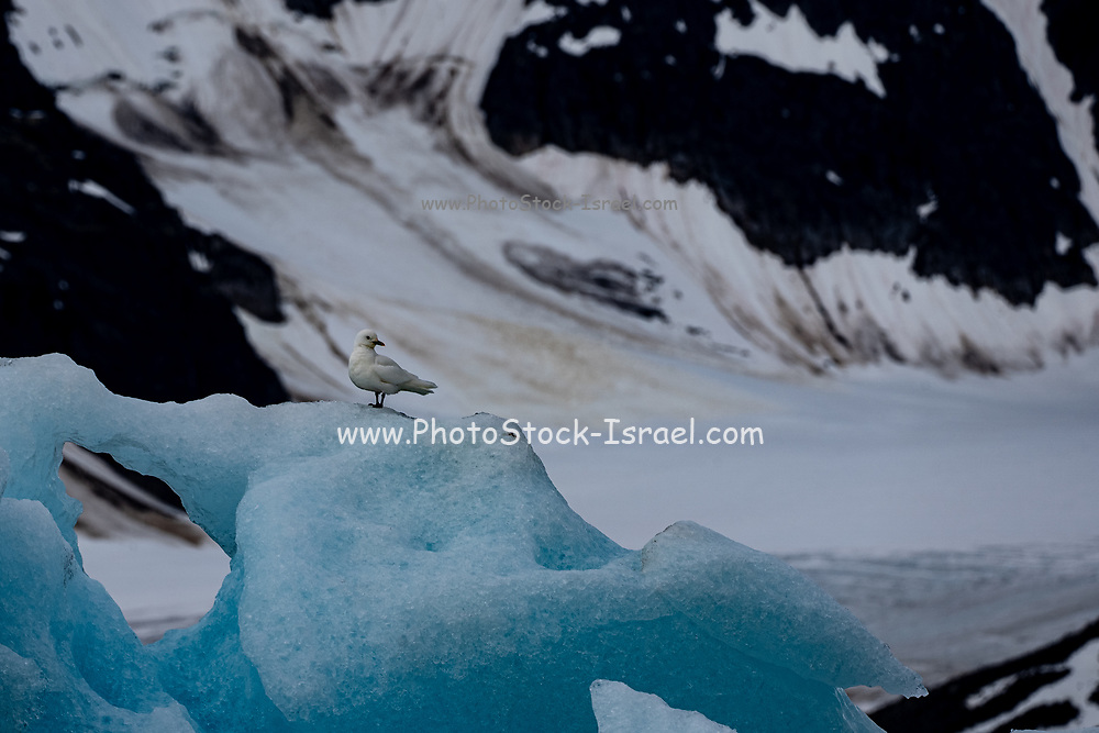 blue ice of glacier Dahlbreen. The ice of blue icebergs contains fewer air bubbles than those appearing more or less white. On rainy days their colour appears particularly intense. This big iceberg is floating in Oscar II Land at Spitsbergen, Svalbard., Norway.