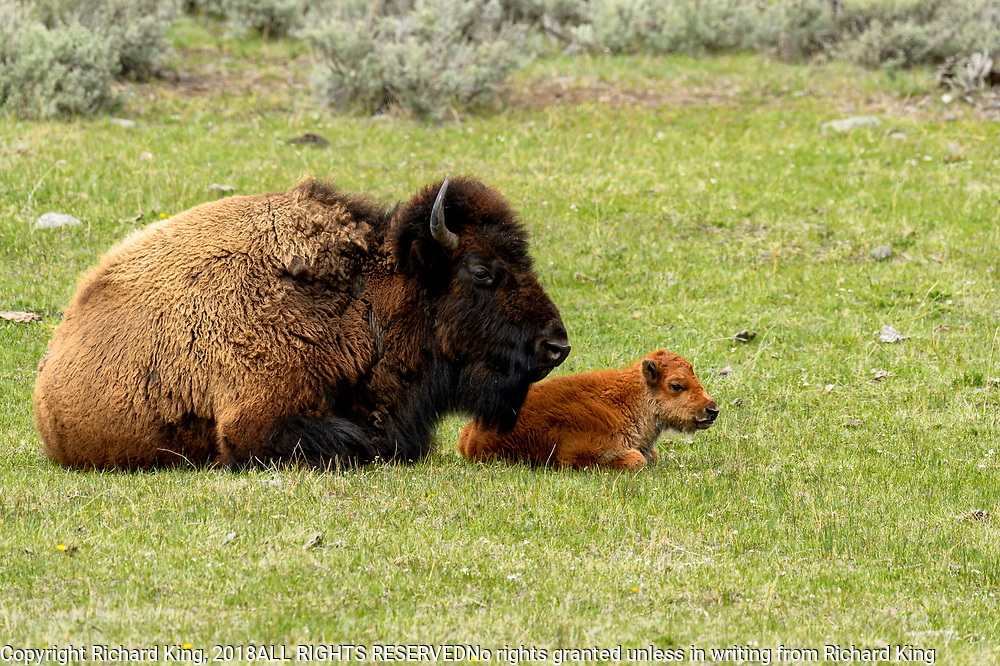 Wildlife photography from Yellowstone National Park, WY, USA