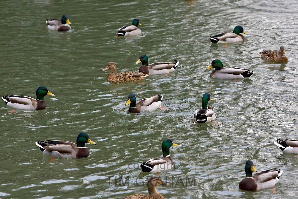Mallard ducks in River Windrush, Burford, UK. Feral birds may be at risk from Avian Flu bird flu virus