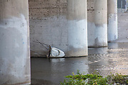 White shark head under Glendale Hyperion Bridge in Los Angeles River, Los Angeles, California, USA
