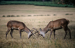 © Licensed to London News Pictures. 01/09/2019. London, UK. Deer rutting at first light in Richmond Park on the first day of meteorological autumn. Photo credit: Ben Cawthra/LNP