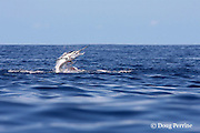 hooked up striped marlin, Kajikia audax (formerly Tetrapturus audax ), jumping on line, bleeding profusely from internal injuries probably due to use of live bait and J-hook; off Cabo San Lucas, Baja California, Mexico ( Eastern Pacific Ocean )