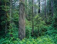 Redwood forest with fog , Prairie Creek Redwoods State Park, California, [4x5 original] © David A. Ponton