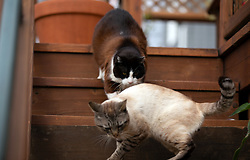 Lewis the cat, top, vanquishes visiting feral cat Cecil from the deck of his Oakland, Calif. home, Wednesday, March 18, 2020. (Photo by D. Ross Cameron)