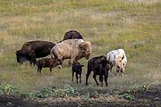 Rare white buffalo (bison) in western prairie habitat