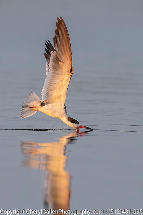 Black Skimmer skimming at sunset