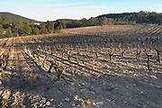 Domaine de Mas de Martin, St Bauzille de Montmel. Gres de Montpellier. Languedoc. Vines trained in Gobelet pruning. In the vineyard. France. Europe.