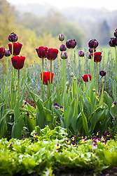 Tulipa 'Jan Reus' and T. 'Black Hero' with Viola tricolor - Heartsease