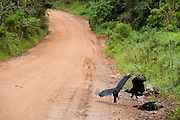 Toledo_MG, Brasil...Urubus comendo animal morto em uma estrada de terra em Toledo...Vultures eating a died animal in the dirt road in Toledo...Foto: LEO DRUMOND / NITRO....