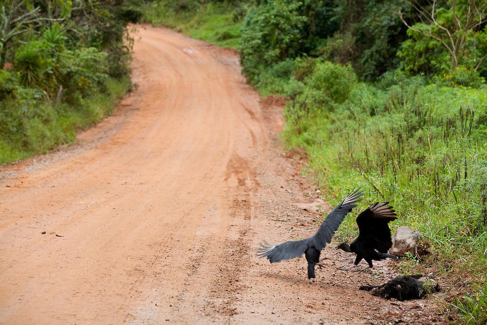 Toledo_MG, Brasil...Urubus comendo animal morto em uma estrada de terra em Toledo...Vultures eating a died animal in the dirt road in Toledo...Foto: LEO DRUMOND / NITRO....