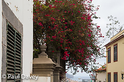 Bouganvillia blossoms in the streets of Funchal, Madeira. MADEIRA, September 25 2018. © Paul Davey