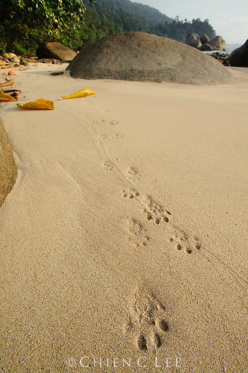 Fresh tracks of an Oriental Small-clawed Otter (Aonyx cinerea) along the beach at Tanjung Datu National Park. Sarawak, Malaysia (Borneo).