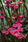 Rose of Siam, Lyon Arboretum. Manoa Valley, Honolulu, Oahu, Hawaii