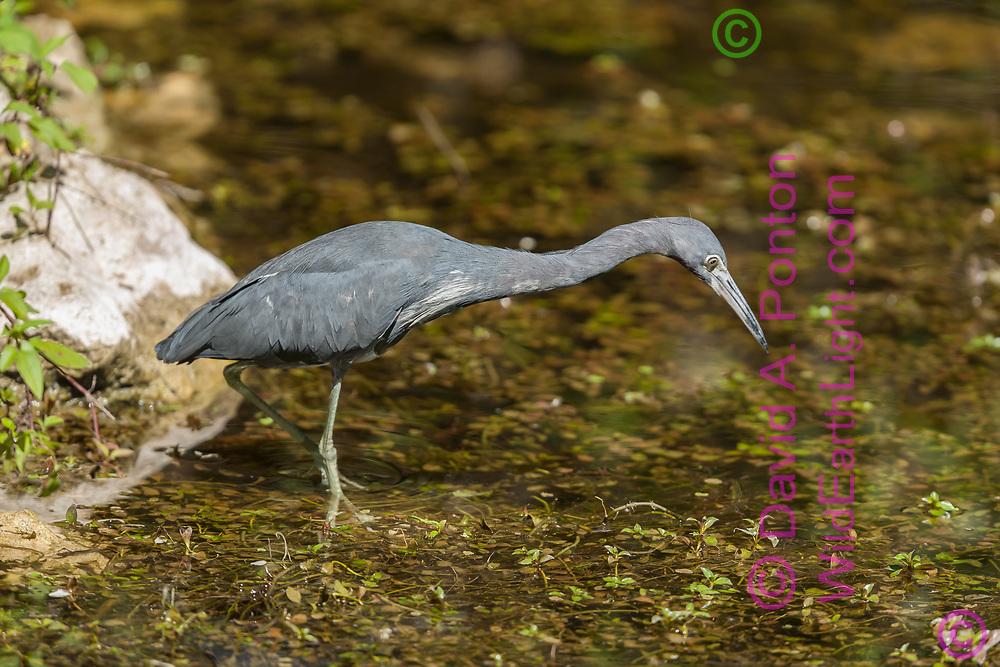 Little blue heron hunting fish, Big Cypress National Preserve