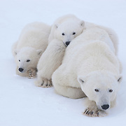 Two polar bear (Ursus maritimus) cubs of the year waiting patiently for the ice to freeze near their mother at Cape Churchill, Manitoba, Canada.