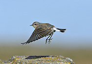 Northern Wheatear - Oenanthe oenanthe - moulting adult female. L 14-16cm. Open-country bird. Reveals white rump and black-and-white tail in flight. In other respects, sexes are dissimilar. Adult male has blue-grey crown and back, black mask and wings, and pale underparts flushed orange-buff on breast. Adult female has mainly grey-brown upperparts, darkest on wings. Face, throat and breast are pale orange-buff and underparts are otherwise whitish. 1st winter birds have grey- to buffish brown upperparts and buffish underparts. Voice Utters a sharp chak alarm call, like two pebbles knocked together. Song is fast and warbling. Status Locally common summer visitor to moors and open grassland.