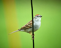Chipping Sparrow. Image taken with a Nikon D5 camera and 600 mm f/4 VR lens.