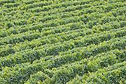 Vineyard in the Marlborough wine region, in the South Island of New Zealand.