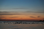 Geese getting ready for the night, settling down on the quiet sea in Landskrona, Sweden, 27th of August.