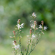 Asphodelus ramosus, also known as branched asphodel, is a perennial herb in the Asparagales order. Photographed in Israel in February