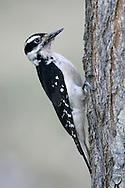 Hairy Woodpecker - Picoides villosus - female