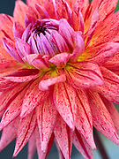 Dahlia 'Chantal' - semi-cactus dahlia