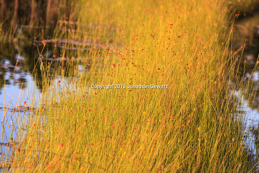 Golden morning light shines on wetland grasses in the pond at Long Pine Key in Everglades National Park, Florida. WATERMARKS WILL NOT APPEAR ON PRINTS OR LICENSED IMAGES.