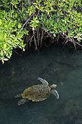 Green Turtle (Chelonia mydas agassisi)<br /> Elizabeth Bay, Isabela Island<br /> Galapagos<br /> Ecuador, South America