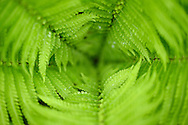 Ferns, Tangjiahe National Nature Reserve, NNR, Qingchuan County, Sichuan province, China