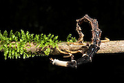 Snail-hunting Lampyrid (Lampyridae)<br /> Yasuni National Park, Amazon Rainforest<br /> ECUADOR. South America