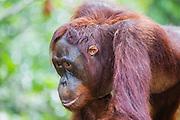 A portrait profile of an orangutan (Pongo pymaeus), Tanjung Puting National Park, Central Kalimantan, Borneo, Indonesia