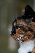 Phantom, Calico Tuxedo Cat