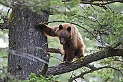 Black bear (Ursus americanus) cinnamon phase sow in tree
